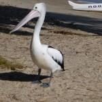 Der Pelikan macht auch in Noosa Urlaub...