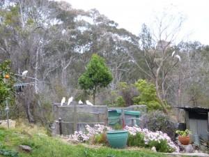 27 Kakadus im Garten sind ein Überfall