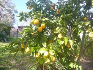 Zitronen im Winter
