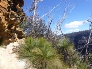 Tropische Vegetation in den Blue Mountains