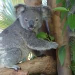 Koala die Schlafmütze Australiens