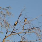 Kookaburra - the Killerbird