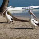 Pelikane in Noosa