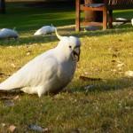White Cockatoo im Botanischen Garten in Sidney