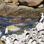 kleine Pinguine in Sydney