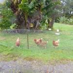 die 4 Hühner die nur 2 Eier täglich legen