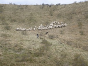 Follow the sheeps