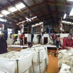 busytime in shearing