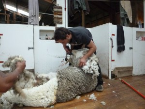 final shearing - the rams