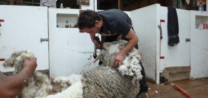 final shearing - the rams