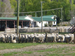 the first mob is ready for shearing